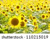 This is a picture of the sunflower field I was taken in August. - stock photo