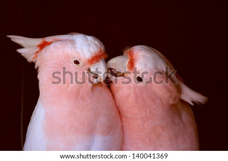 this is a picture of two pink cockatoos kissing - stock photo