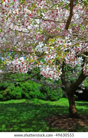 This is a Pink Cherry Blossom Tree.