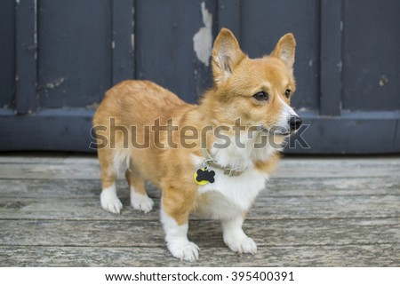 This is a portrait of a female Corgi. - stock photo