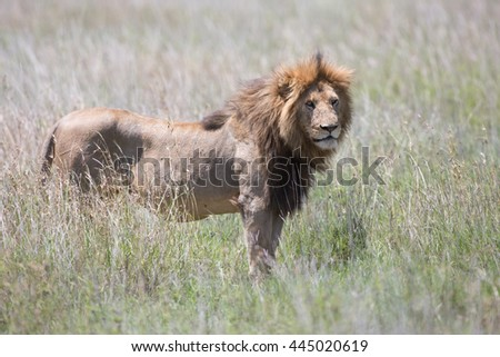 This is a portrait of an old male lion in natural habitat. It is an excellent illustration which shows wildlife.