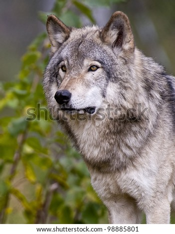 This is a portrait photograph of a Timber Wolf in a summer setting. - stock photo