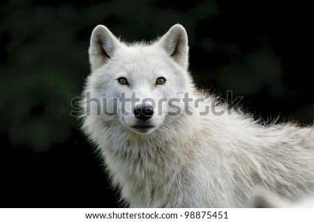 This is a portrait photograph of an Arctic Wolf - stock photo