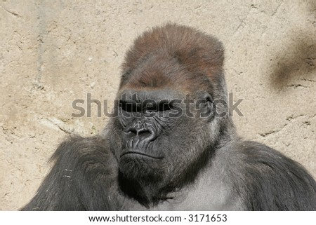 this is a rather large gorilla that was shot while in the wild.