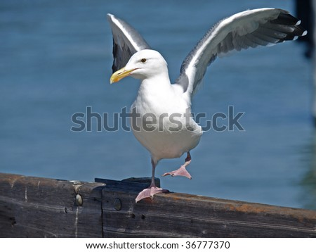 This is a seagull.