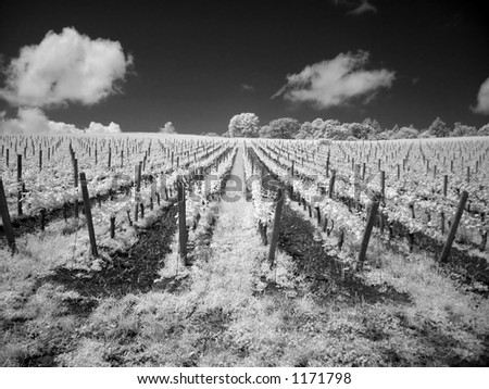 This is a shot of a vineyard in Oregon in infrared using a digital camera in black and white - stock photo