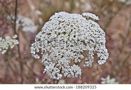 This is a shot of the delicate plant Daucus carota, or Queen Anne's lace.  Pretty white dainty flowers with the background blurred. - stock photo