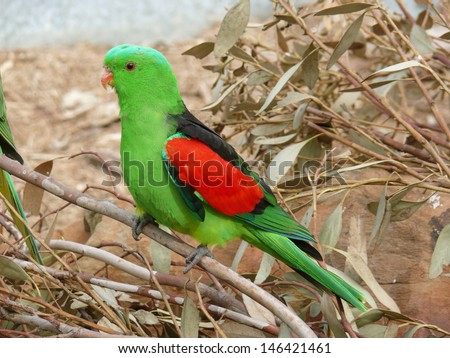 this is a side view of an Australian king parrot - stock photo