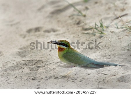 This is a slender green color bird with elongated central tail-feathers  - stock photo
