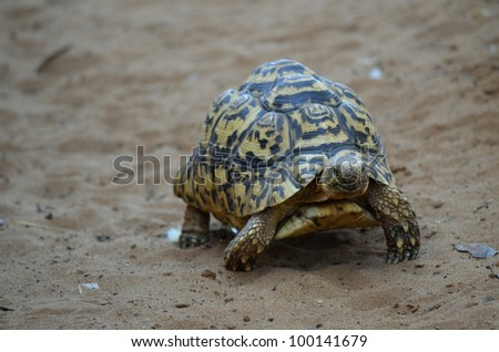 this is a slow moving tortoise going across sand