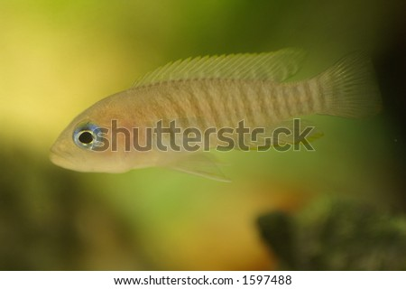 This is a small Tanganyika neolamprologus multifasciatus, which are small cichlids that reside in shells.