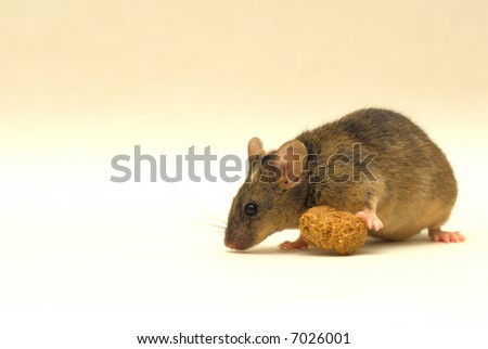This is a very special genetic modified lab mouse. Look at the white spot on his head! - stock photo