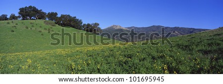 This is a view along Route 150. There are spring wildflowers growing in a field with live oaks in the distance. The Topa Topa Mountains are in the background. - stock photo