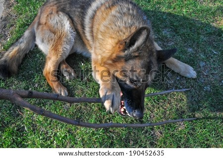 This is a view of german shepherd