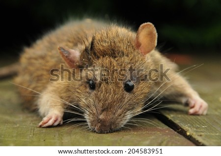 This is a view of rat closeup