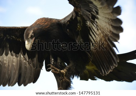 this is a wedge tailed eagle with its wings open - stock photo