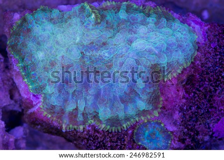 This is a white and green Rhodactis marine mushroom. - stock photo