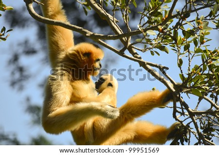 this is a white faced gibbon hanging from a tree with her young - stock photo