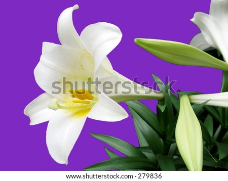 This is an Easter Lilly isolated on  a purple background. - stock photo
