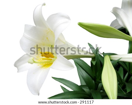 This is an Easter Lilly isolated on  a white background.