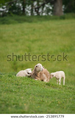 This is an image of mother and 2 baby lambs (Ovis aries) sitting on the hillside of a local farm. - stock photo