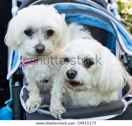 This is an image of two Maltese in a carriage.
