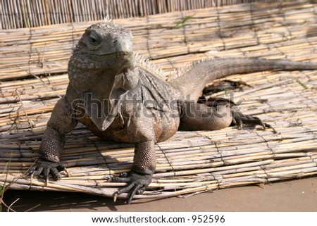 This is Bonzo. He is a Rare Cuban Rock Iguana & Blue Cayman Lizard sunning him self on a bamboo mat - stock photo