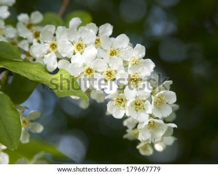 This is hackberry flowers. Prunus padus, known as Bird Cherry or Hackberry, is a species of cherry, native to northern Europe and northern Asia.