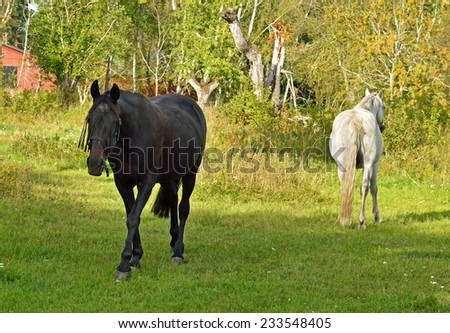This is love! Beauty Thoroughbred mare and stallion ordinary. Horses quarreled and disperse in different directions - stock photo