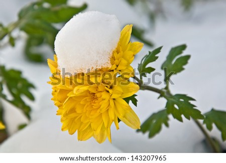 This is newly fallen snow on a bright yellow mum, (chrysanthemum) flower closeup.  It's rare to see snow and flowers together, beautiful nature image. - stock photo