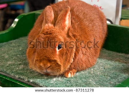 This is one red trianta rabbit, sitting closeup on a grooming table. - stock photo