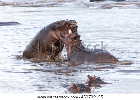This is picture of fight between two hippopotamus. It is illustration of wildlife in their natural habitat. Excellent photo