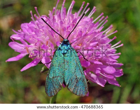 This is the green butterfly Adscita statices from the family Zygenidae, sitting on the pink flower Knautia sp.