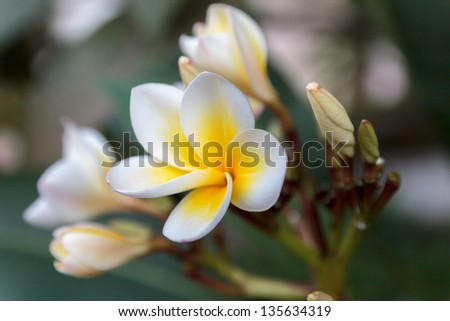 This is the national flower of Laos. In Southeaster Asia the plumeria flowers (Frangipani) provide shelter to ghosts and demons.