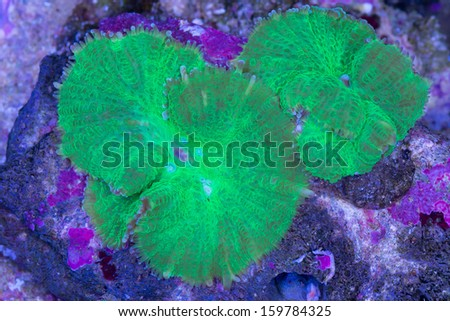 This is two bright green Rhodactis mushrooms on a a rock. - stock photo