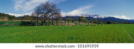 This is Upper Ojai in the spring with snow on the Topa Topa Mountains. There is a large oak tree with a green field and a few wildflowers growing. There is a blue sky. - stock photo