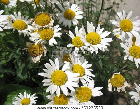 This is white flowers of camomile - stock photo