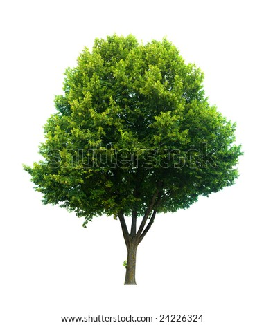This isolated lime tree should be a Tilia cordita or a Tilia platyphyllos by the latin name - stock photo