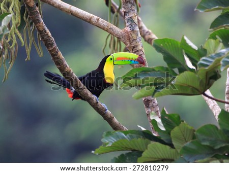 This Keel Billed or Rainbow Toucan looks toward the big bean supper he is about to have.   - stock photo