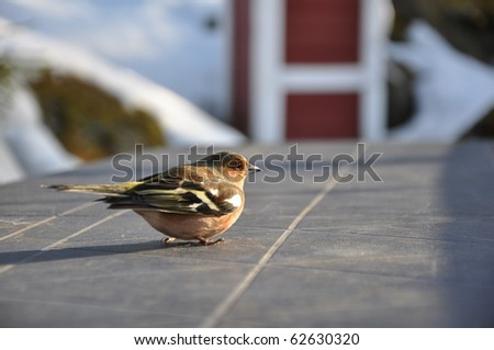 This little chaffinch was recovering on a cabin table in Strandvik, Sweden. Half an hour earlier it had hit a window and was a bit dizzy. - stock photo
