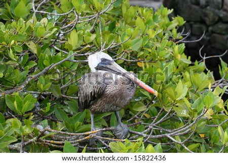 This lone pelican rests in the mangroves on the shoreline of the Galapagos islands - stock photo