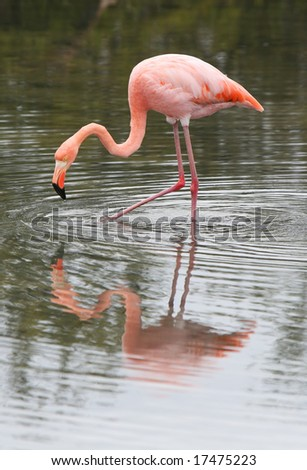 This long legged flamingo is searching for food in the water - stock photo