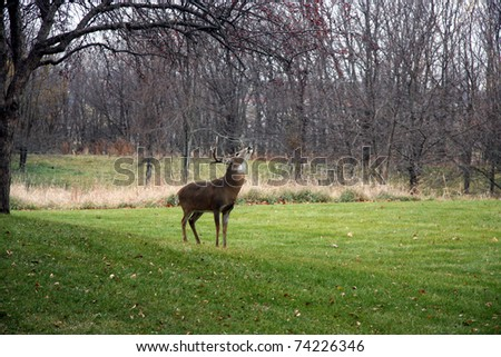 This majestic buck feeds from the low hanging fruit on the trees during deer season. - stock photo