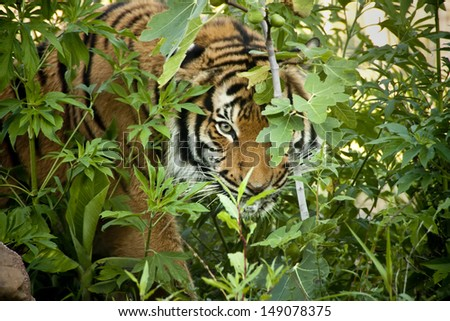 This Malayan Tiger peers through the branches as it stalks another tiger in a local zoo exhibit. The attention to detail in keeping this exhibit 'wild' and accessible made for this great image. - stock photo