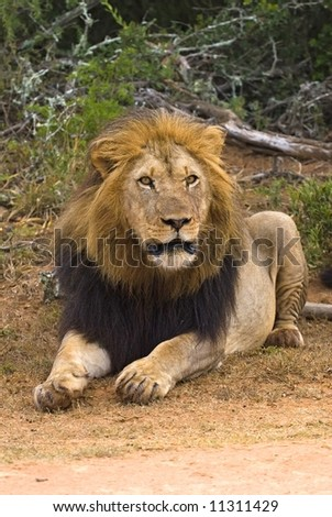 This Male Lion is a Leader and he knows it - stock photo
