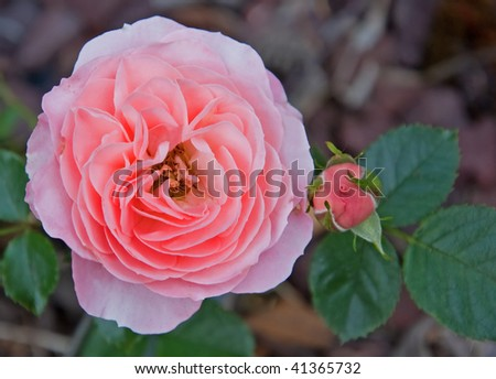 This photo is a closeup of an old fashioned double pink rose with hints of peach and is double ruffled. - stock photo