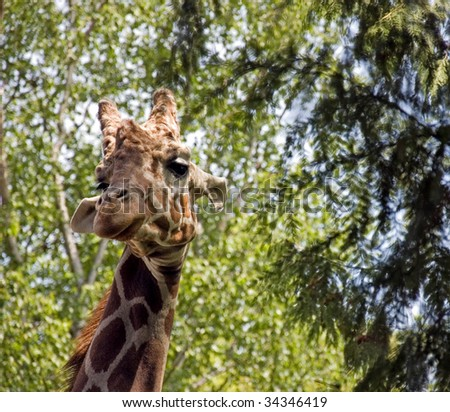 This photo is a giraffe with it's head up in the trees with it's beautiful long eyelashes looking at the camera. - stock photo
