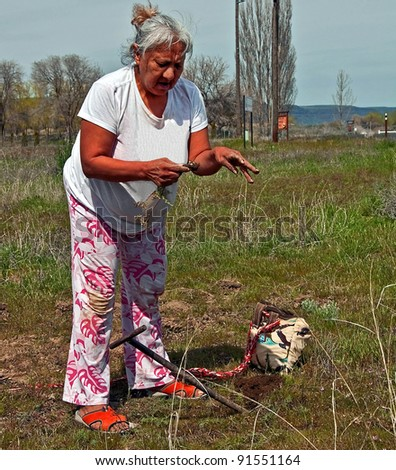 This photo is an elder Native American woman digging for camas (sweet potatoes) in a traditional way with a wood stick tool.  She is a member of the Confedrated Tribes. - stock photo