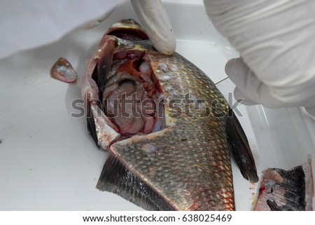 Fish anatomy stock images royalty free images vectors for Fish scale disease
