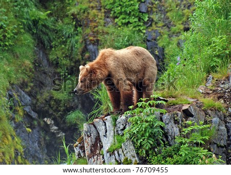 This picture is taken on Kodiak Island of a Grizzly Bear watching the habitat near Fraser Lake - stock photo